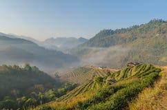 Mattina alla piantagione di tè, angkhang Tailandia Fotografia Stock Libera da Diritti