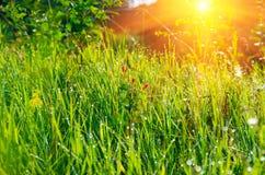 Mattina dell'albicocca del germoglio nell'erba Fotografie Stock Libere da Diritti