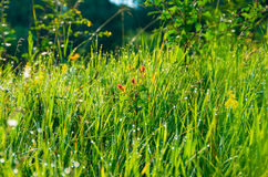 Mattina dell'albicocca del germoglio nell'erba Fotografia Stock Libera da Diritti