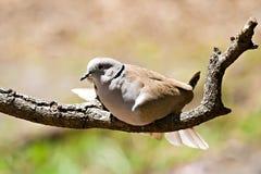 mattina della colomba Fotografie Stock