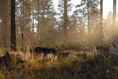 Mattina della foresta Immagine Stock
