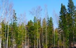 Mattina della sorgente nella foresta Fotografie Stock