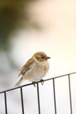 Mattina di inverno del passero Fotografie Stock Libere da Diritti