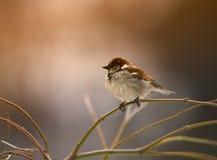 Mattina di inverno del passero fotografia stock libera da diritti