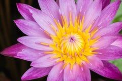 Mattina di Lotus in natura Fotografie Stock