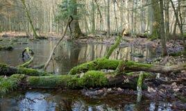 Mattina di primavera in foresta decidua Fotografia Stock Libera da Diritti