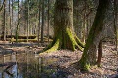 Mattina di primavera nella foresta della zona umida Immagine Stock