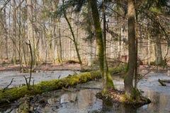 Mattina di primavera nella foresta della zona umida Immagini Stock Libere da Diritti