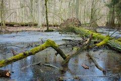 Mattina di primavera nella foresta della zona umida Fotografia Stock