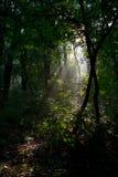 Mattina in foresta Fotografia Stock Libera da Diritti