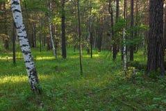 Mattina in foresta Immagini Stock