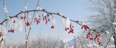 Mattina gelida di inverno Il crespino di sonno vede i sogni circa l'estate Immagini Stock