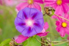Mattina Glory Flower Fotografie Stock Libere da Diritti