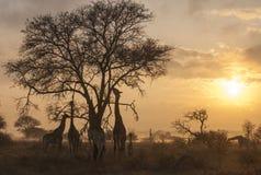 Mattina nebbiosa con le giraffe Immagini Stock