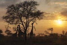Mattina nebbiosa con le giraffe Fotografia Stock