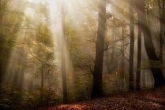 Mattina nebbiosa in legno nebbioso Immagine Stock
