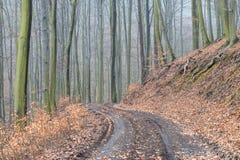 Mattina nebbiosa nella foresta di autunno, tronchi di albero muscosi fotografia stock