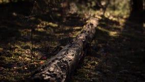 Mattina nel collegamento del pino della foresta il muschio stock footage