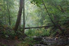 Mattina nella foresta Fotografia Stock