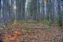 Mattina nella foresta di autunno Fotografia Stock Libera da Diritti