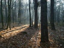Mattina nella foresta di autunno immagini stock