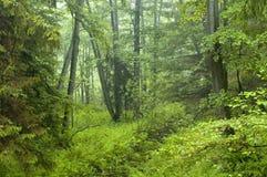 Mattina nella vecchia foresta dell'ontano fotografia stock libera da diritti