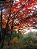 Mattina piena di sole nella foresta dell'acero Fotografie Stock