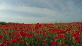 Mattina in Poppy Field video d archivio
