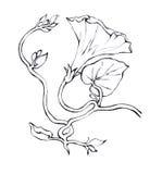 Mattina rosa Glory Field Bindweed, fiori di convolvulus arvensis illustrazione di stock