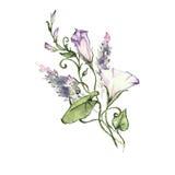 Mattina rosa Glory Field Bindweed, fiori di convolvulus arvensis Immagine Stock