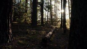 Mattina soleggiata nel collegamento del pino della foresta il muschio stock footage
