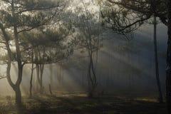 Mattina in una foresta del pino fotografie stock libere da diritti