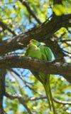 Matting anel-necked dos papagaios de Rosa Fotos de Stock