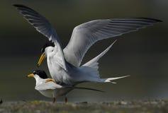 Matting da ave marinho na costa foto de stock
