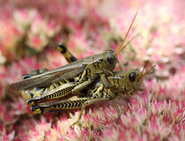 Matting Grasshopper Stock Image