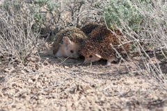 Matting Long-eared hedgehogs Hemiechinus auritus. Mating Long-eared hedgehogs Hemiechinus auritus during spring in desert of southern Kazakhstan Stock Images