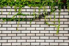 Mattone con l'edera Fotografia Stock Libera da Diritti