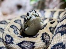 Mattpytonorm/orm Fotografering för Bildbyråer