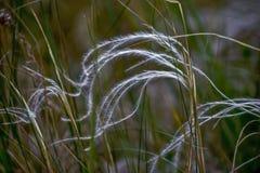 Mattt gräs för fjädergräs Fotografering för Bildbyråer
