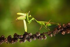 Mattutino che mangia i mantidi, due mantidi pregare dell'insetto verde sul fiore, religiosa del mantide, scena di azione, repubbl immagine stock libera da diritti