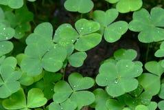 mattväxt av släkten Trifoliumoxalis Arkivbilder