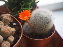 Matucana met bloem Stock Foto