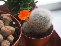 Matucana mit Blume Stockfoto