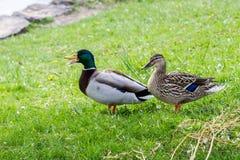 Matujący parę Mallard nurkuje na trawie zdjęcia stock