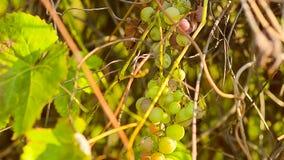 Maturando mazzo di uva, sui rami della vite verde, alimenti naturali, agricoltura di giardinaggio stock footage