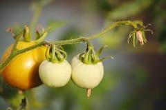 Maturando nella serra sui pomodori del giardino del paese, frutta, verdura, fra le foglie verdi su un ramo di una pianta Fotografia Stock Libera da Diritti