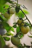 Maturando nella serra sui pomodori del giardino del paese, frutta, verdura, fra le foglie verdi su un ramo di una pianta Fotografie Stock