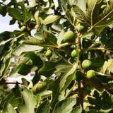 Maturando sulla frutta di pianta legnosa della data. Fotografie Stock