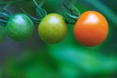Maturation de 3 tomates-cerises image libre de droits