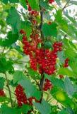 Maturation de la groseille rouge sur une branche Baies d'été saison des vitamines photos stock